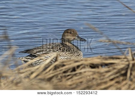 female northern pintail sitting on the river bank in the grass