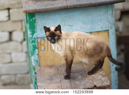 Graceful Siamese cat with blue eyes on an old stool