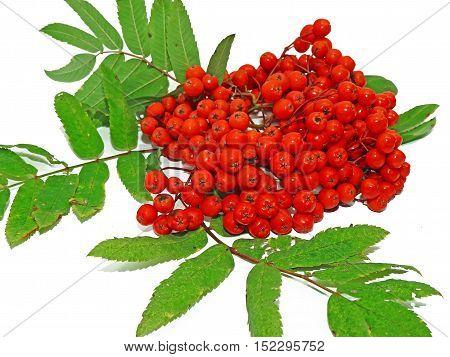 Ripe Autumn Bunch Of Rowan