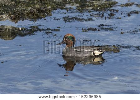 male EURASIAN TEAL sitting in the water of a small pond