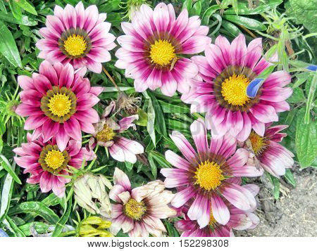 Pink daisies in garden on bank of the Lake Ontario in Toronto Canada September 13 2016
