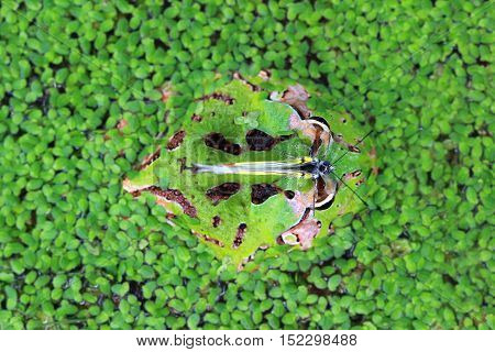 Pacman frog A camouflaged in the swamp
