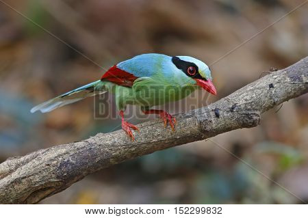 Common green magpie Cissa chinensis Birds of Thailand