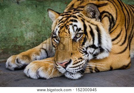 Young asian tiger lying on a floor