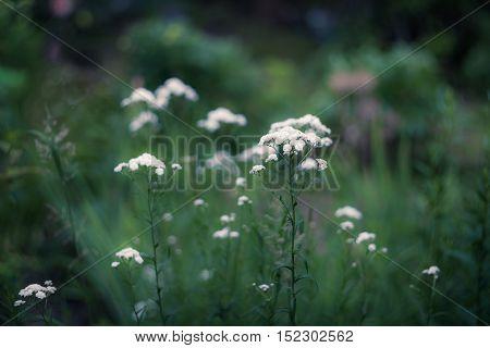 White flowers of Gypsóphila оn a natural green background