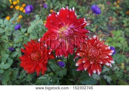 Dahlia scarlet flowers with white tips .