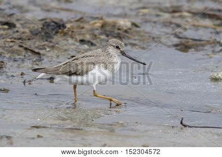 Terek Sandpiper spring day walking through the shallow water of the river