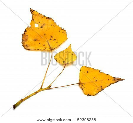 Yellow Autumn Leaves On Poplar Twig