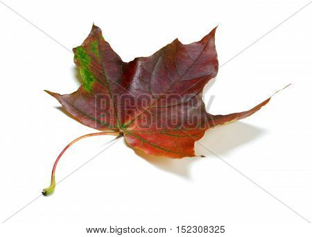 Multicolor Autumn Maple-leaf On White