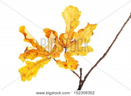 Yellow Autumn Leaves On Oak Twig