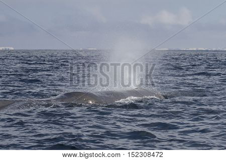 the head of the sperm whale produces a fountain of water before diving in the Pacific Ocean