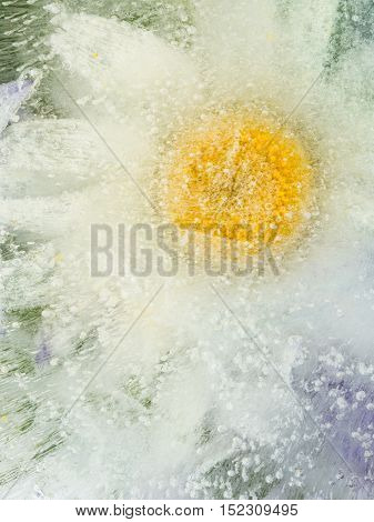 beautiful white-yellow organic abstraction with gentle chamomile flower fragile frozen in a transparent clear water with air bubbles
