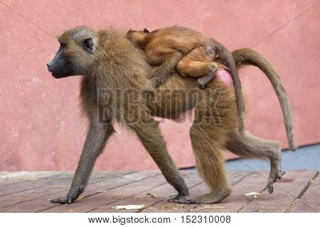 Guinea baboon (Papio papio). Female baboon bearing its newborn baby. Wildlife animal.
