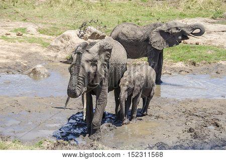 Elefants taking a mud bath Tarangire national park Tanzania