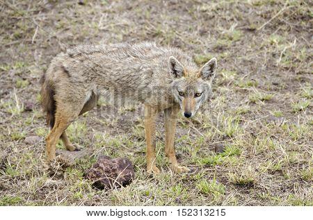 Serengeti jackal (Canis aureus bea) in Serengeti Tanzania