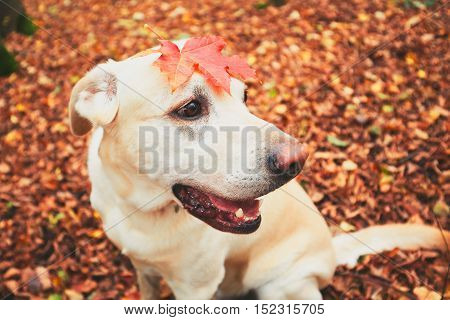 Walk with dog in autumn. Labrador retriever is playing in the colorful leaves.