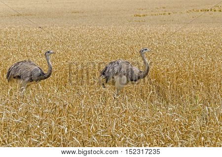 Two american greater rheas (Nandu Rhea americana) walking through the grain field in Mecklenburg-West Pomerania Germany. The ratites escaped 15 years ago from an enclosure and have now grown into a stable population.