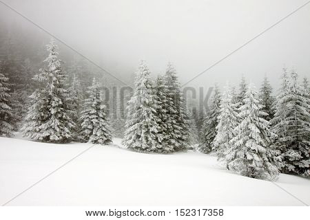 winter wonderland - Christmas background with snowy fir trees