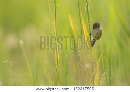 Common Chiffchaff (Phylloscopus collybita) juvenile resting on reed