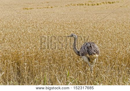 The american greater rhea (Nandu Rhea americana) walking through the grainfield in Mecklenburg-West Pomerania Germany. The ratites have erupted 15 years ago from an enclosure and now grown into a stable population.