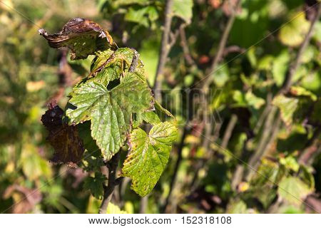 Close up on the ugly raspberry leaves