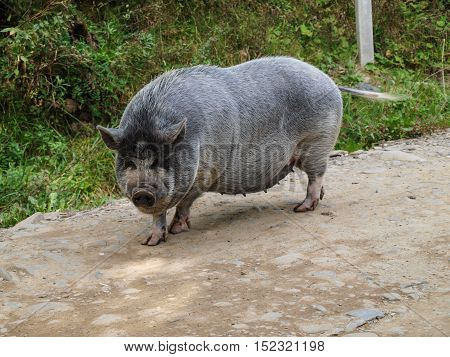 Pot-bellied pig freely strolling through the village street