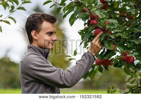 Teenager Picking Apples