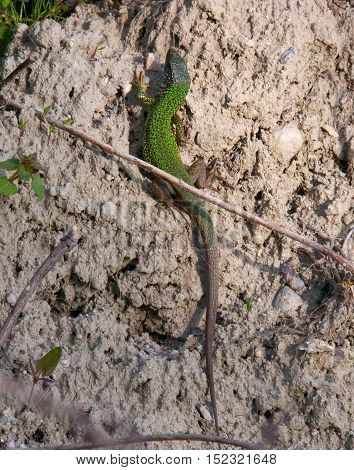 Lizard sunning itself on the sand wall along the river Danube
