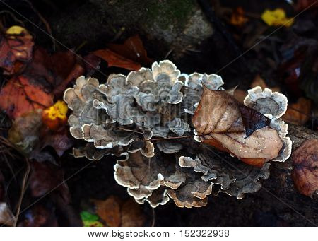 Brown and Grey Lichen with Fall leaves on fallen branch