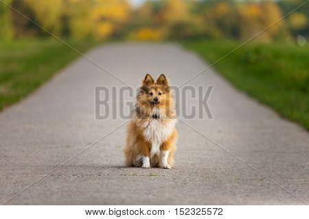 a Shetland Sheepdog sits on a street