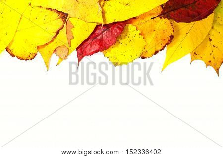 Autumn leaves on a white background multicolored