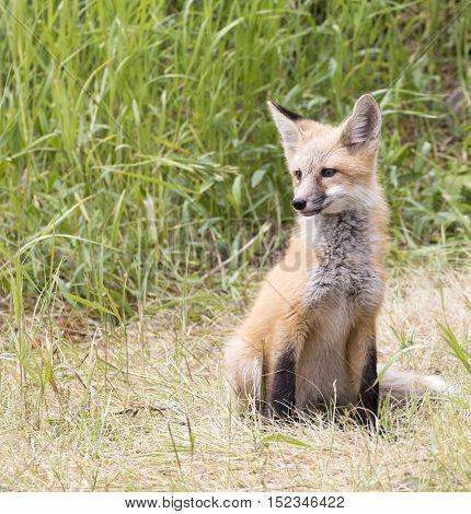 Kit fox posing for camera in grass