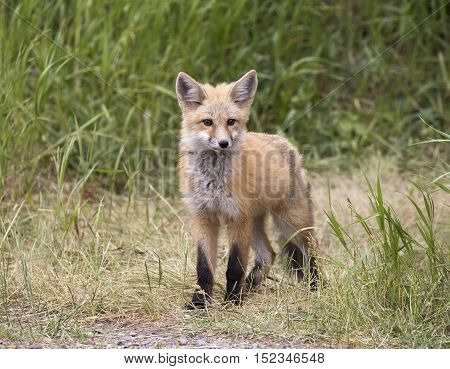 Kit fox in grass waiting for mom to return