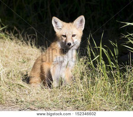 Kit fox in grass with dark background