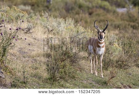 Buck pronghorn in deep grass and sagebrush with thistles