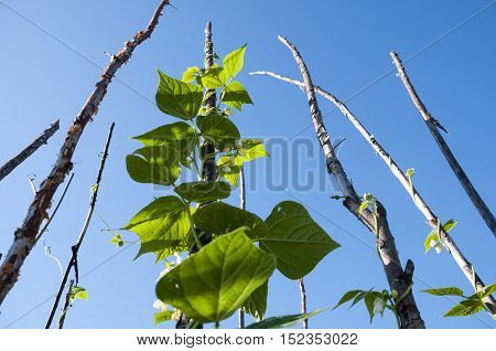 Shoots of green beans on a background of blue sky