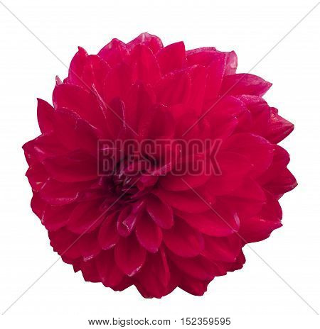 A photo of a bright red dahlia flower, isolated on white