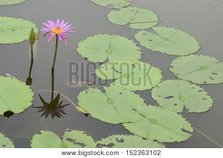 Water Lilies blooming on a pond at Singapore Japanese Garden
