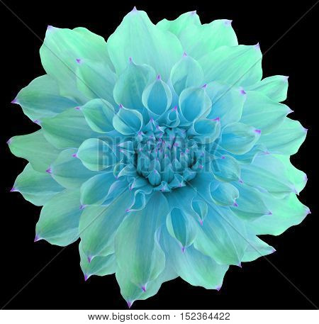 Dahlia flower the black background isolated with clipping path. Closeup. with no shadows. Macro. Nature. Green.