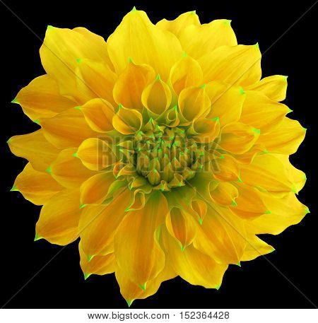 Dahlia flower the black background isolated with clipping path. Closeup. with no shadows. Macro. Nature. Yellow.