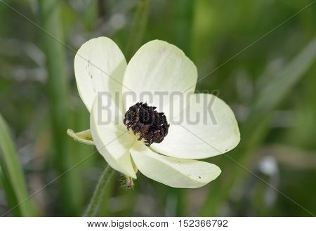 Turban Buttercup - Ranunculus asiaticus Cream form Flower