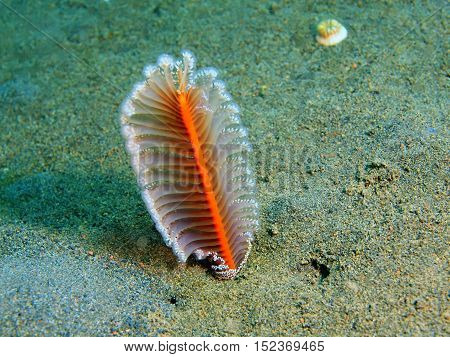 The surprising underwater world of the Bali basin, Island Bali, Puri Jati, sea pen