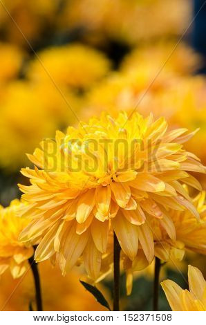 autumn flower orange chrysanthemums on a cloudy day macro