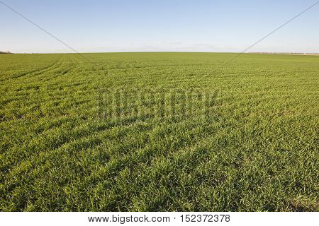 Agricultural landscape - winter crops. Green grass