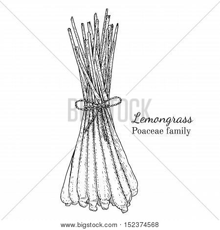 Ink lemongrass herbal illustration. Hand drawn botanical sketch style. Absolutely vector. Good for using in packaging - tea, condinent, oil etc - and other applications