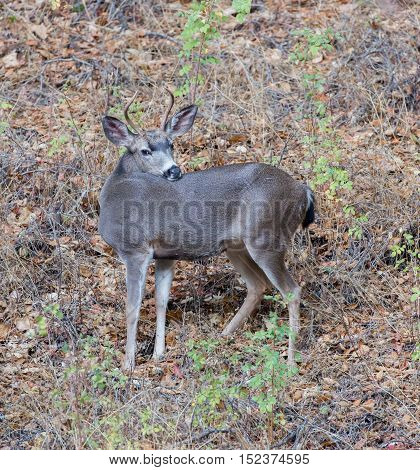 Black-tailed Deer (Odocoileus hemionus) posing in Foliage Background. Adult, Male.