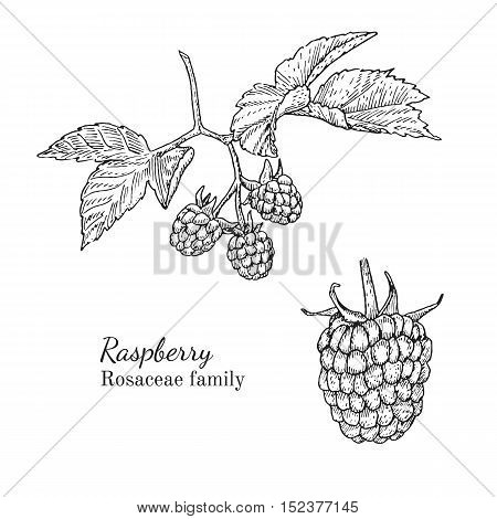 Ink raspberry herbal illustration. Hand drawn botanical sketch style. Absolutely vector. Good for using in packaging - tea, condinent, oil etc - and other applications