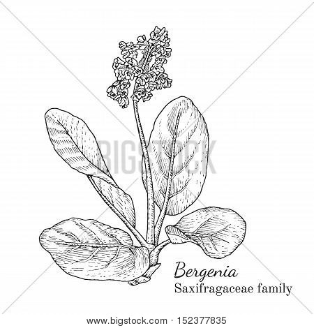 Ink bergenia herbal illustration. Hand drawn botanical sketch style. Absolutely vector. Good for using in packaging - tea, condinent, oil etc - and other applications