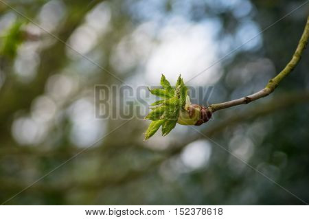 Close up of a chestnut blossom in spring. chestnut blossom