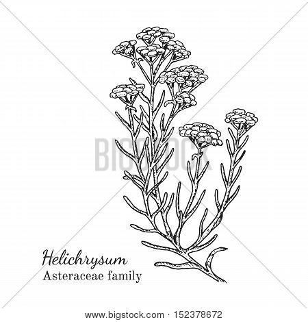 Ink helichrysum herbal illustration. Hand drawn botanical sketch style. Absolutely vector. Good for using in packaging - tea, condinent, oil etc - and other applications